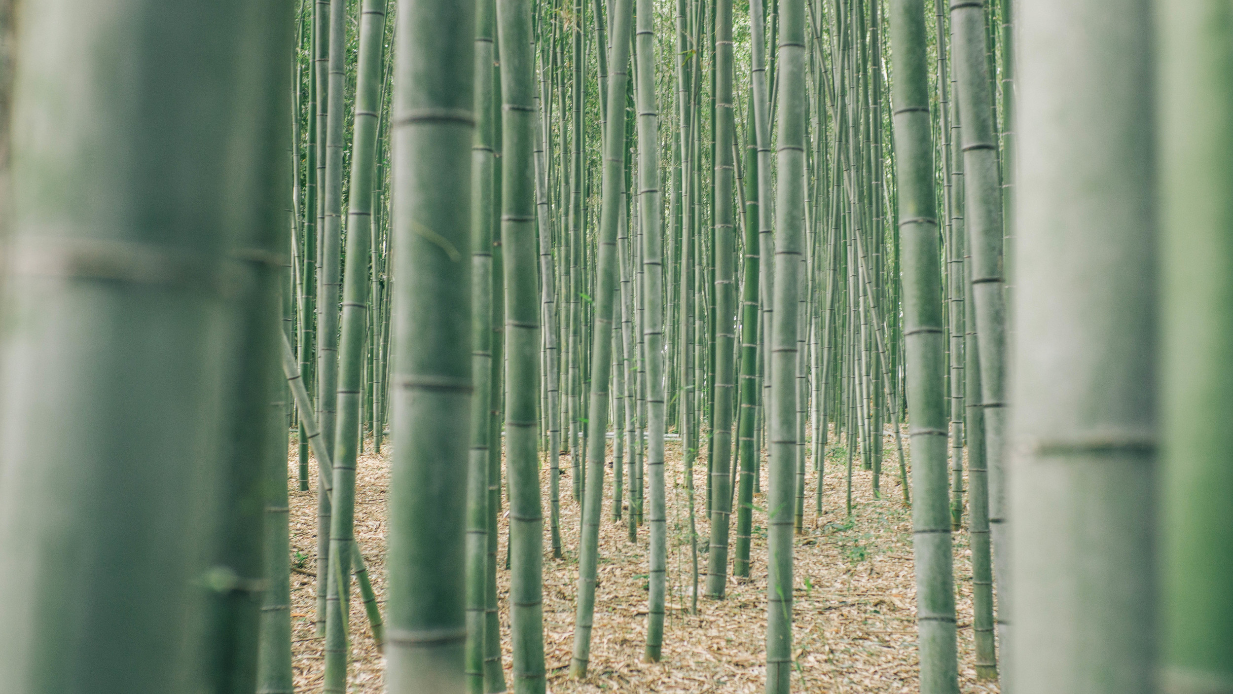 Arashiyama, the bamboo forest in the outskirts of Kyoto. A beautiful and enchanting place! Best to get there early to avoid the crowds (unlike what we did). We didn't have time to walk all the way through, but I hear there are monkeys at the top!