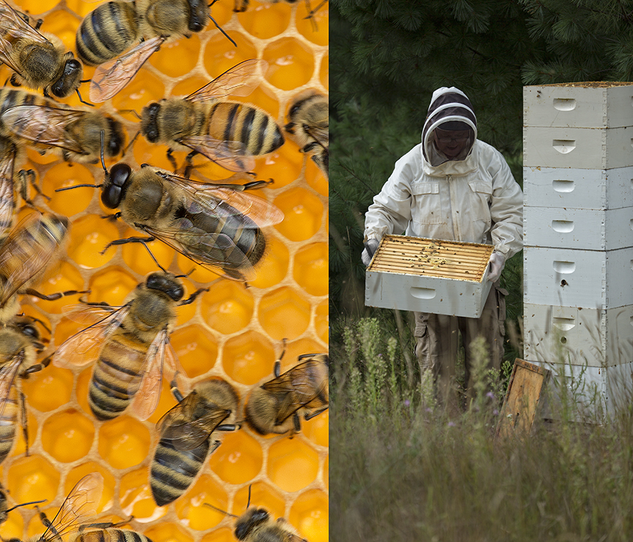 A hunky male drone bee (center left) dwarfs the more dainty female workers. Males living in the hive are offspring of the queen and go afield to find virgin queens from other hives to mate with, dying if they are successful. Then as the dark days of winter descend he, along with his brothers, will be ejected from the colony to perish in the harsh weather.