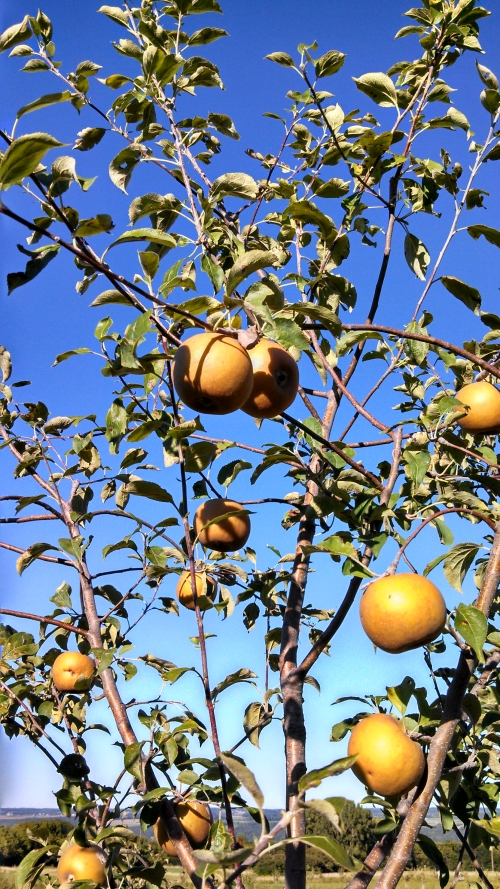 Golden Russett ripening through September.jpg