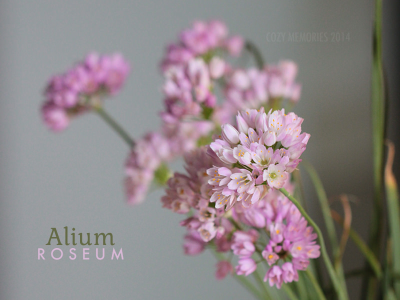 Gorgeous wild pink garlic flowers !