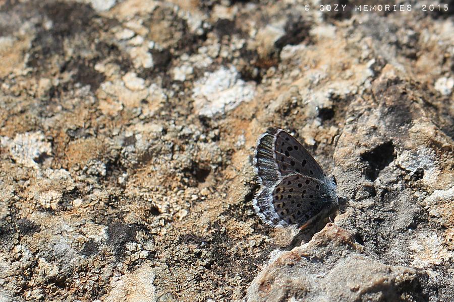 Above and below :Blue baton / Pseudophilotes baton / Azuré du thym (ou de la sarriette)