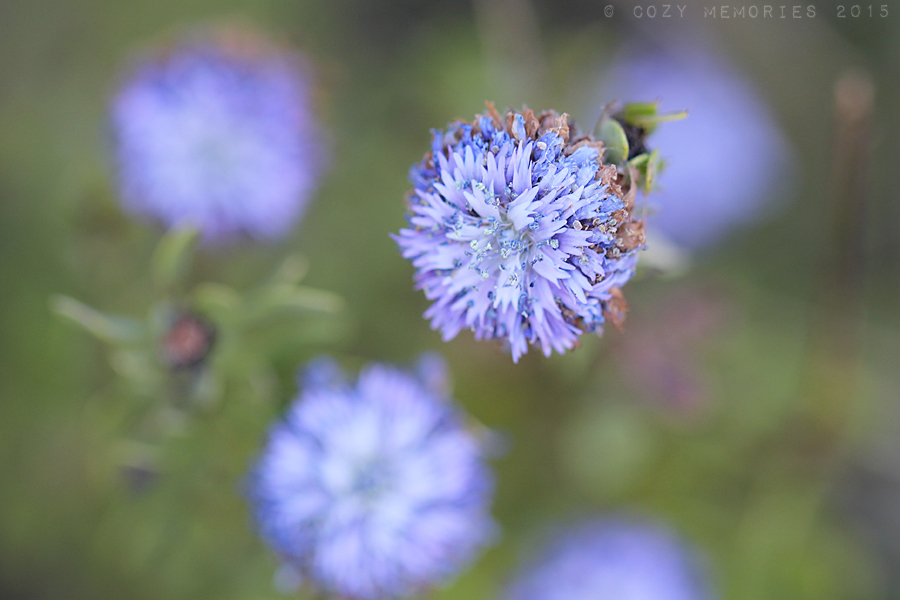 Above and below :Blue globe daisy / Globulaira alypum/ Globulaire buissonnante
