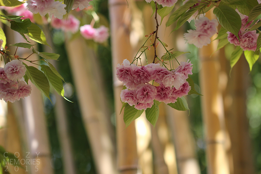 ornamental cherry tree blooms, with bamboos in the background