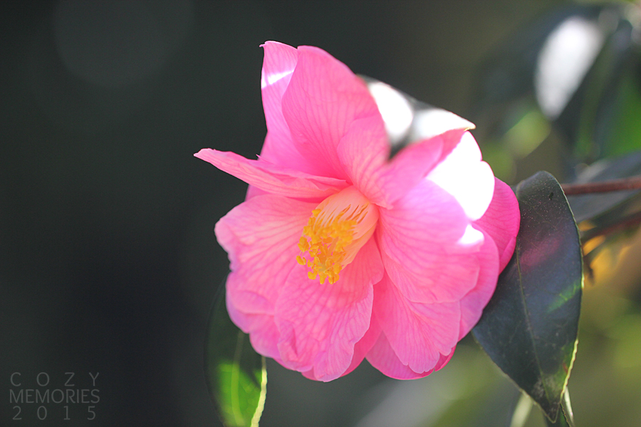 here's a pink variety of camellia ... so pretty !
