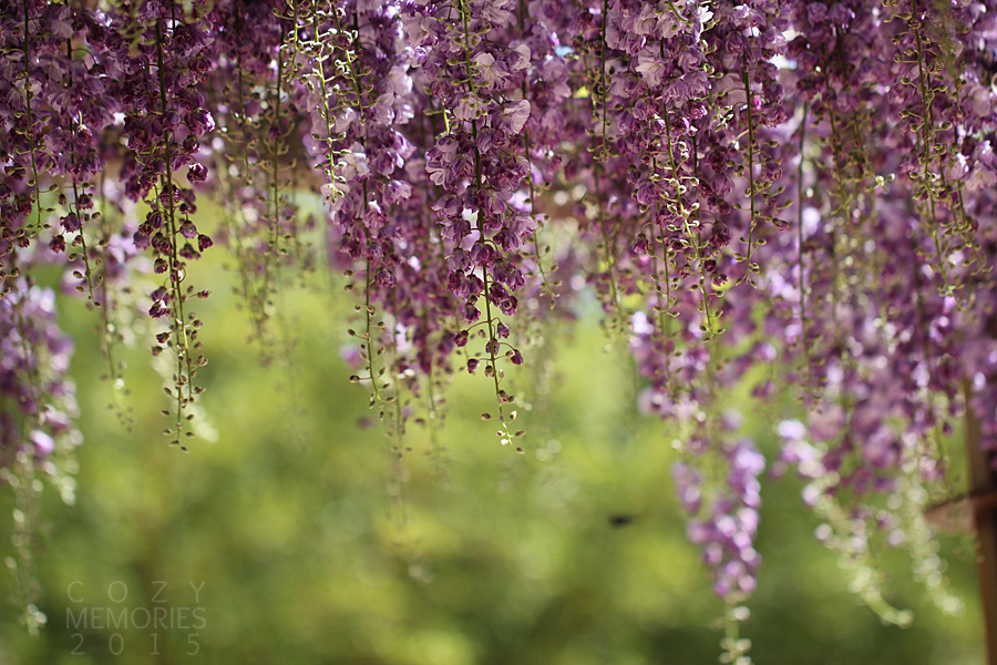 wisteria was in full bloom, as you can see above & below ...