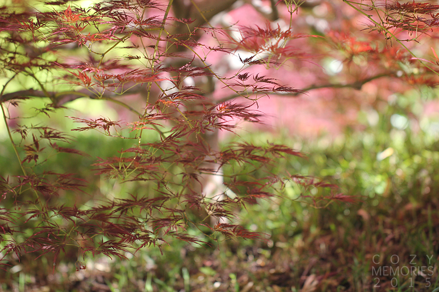 a beautiful kind of Japanese maple