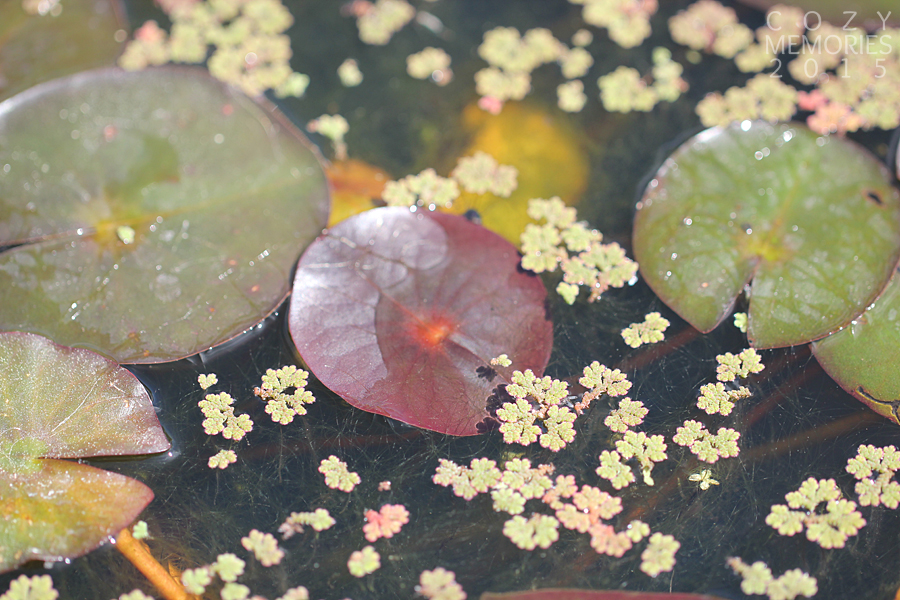this little micro pond (like I like to call it) was actually in a (really) large ceramic jar. A poetic little aquatic garden ! I love the idea ! And the tiny leaves looked like little stars !