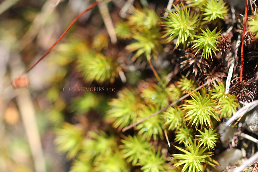 star shaped moss