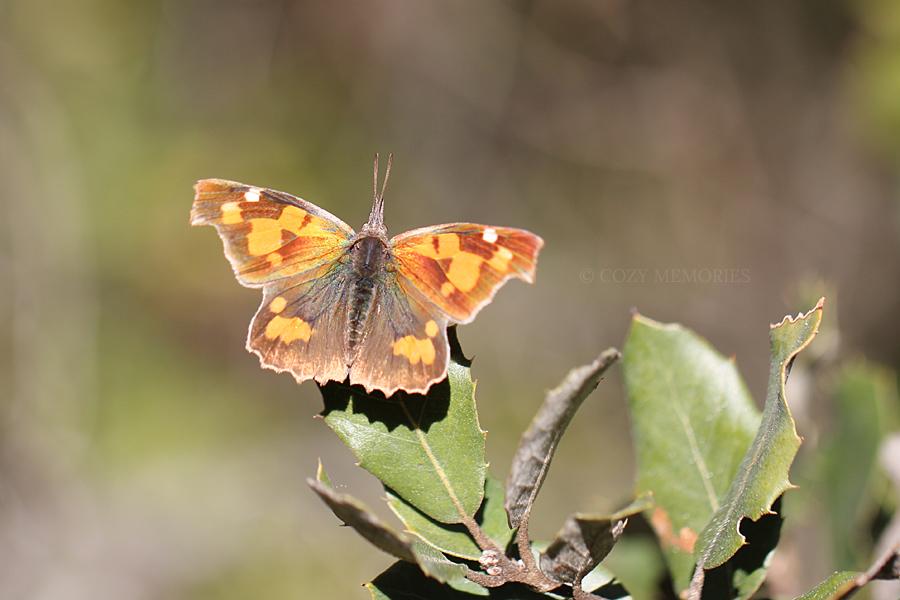 {Libythea celtis}  {European beak / nettle-tree butterfly}  {Echancré / Libythée du micocoulier}