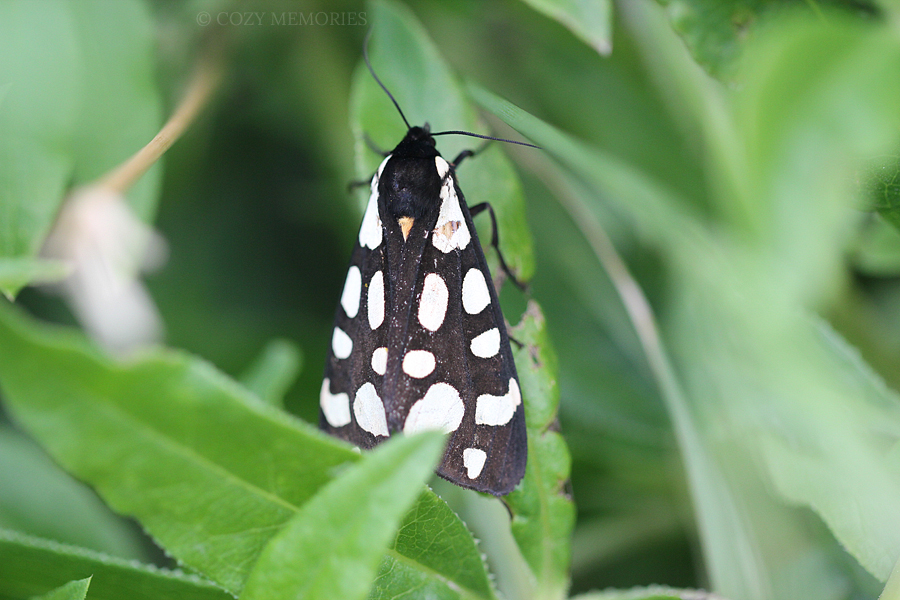 Epicallia villica, aka cream-spot tiger (écaille villageoise en français)
