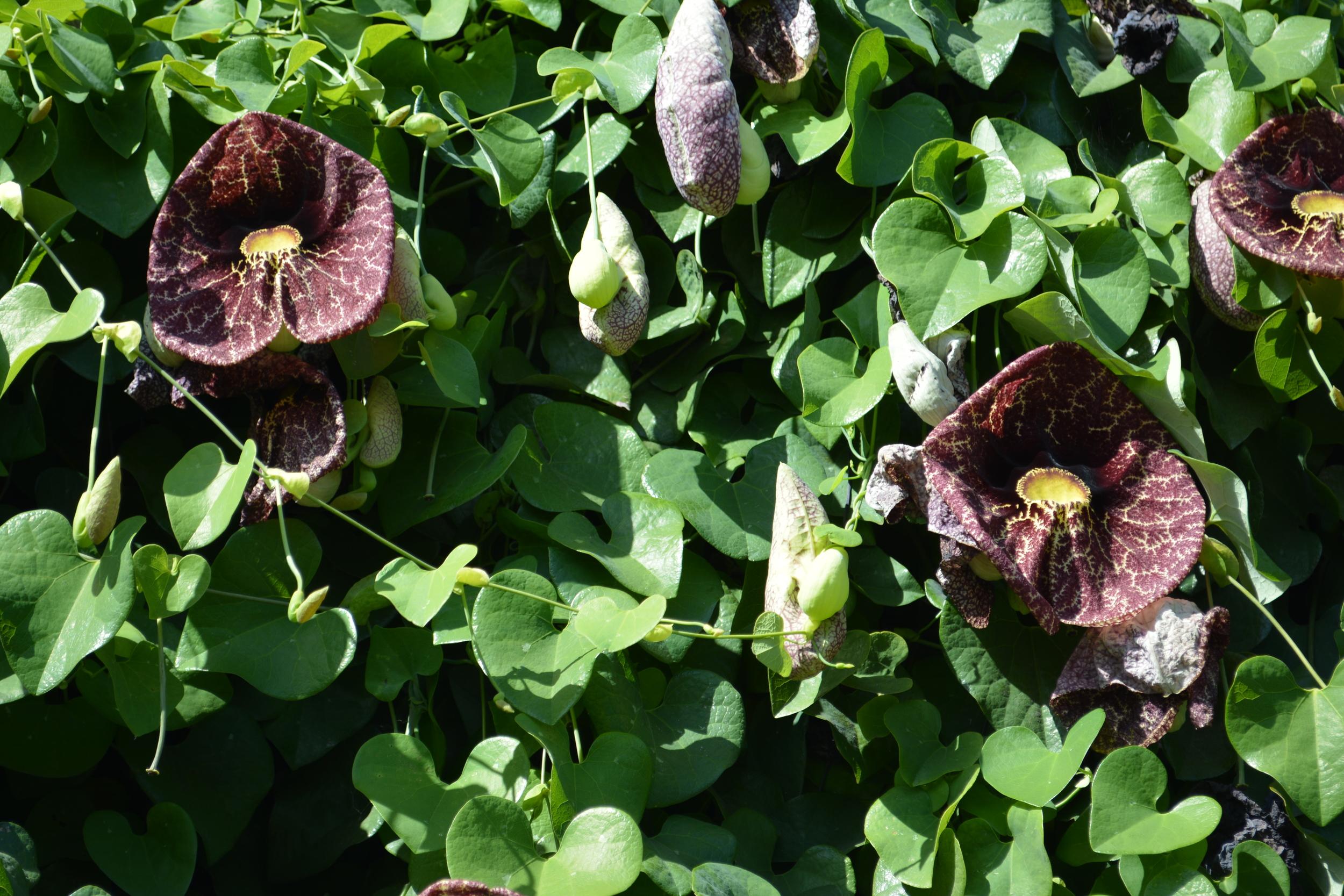 Dutchmans Pipe Flowering Vine