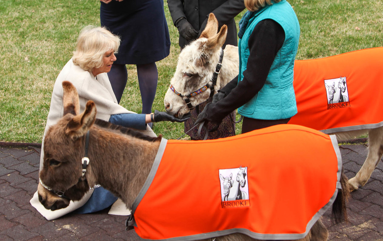 Upon arrival at Churchill Downs, Her Royal Highness The Duchess of Cornwall was greeted by two miniature donkeys representing Brooke USA's programs to improve the welfare of working horses, donkeys and mules in the developing world.