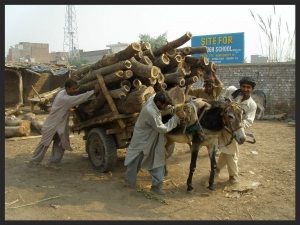 Equines haul most of the building materials in the developing world, like this donkey who is hauling timber in Pakistan.    www.BrookeUSA.org