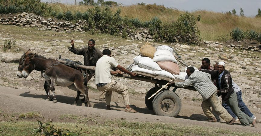 Donkeys straining to pull overloaded cart www.BrookeUSA.org.jpg