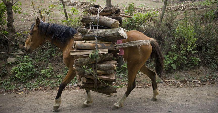 Horse transporting timber www.BrookeUSA.org.jpg