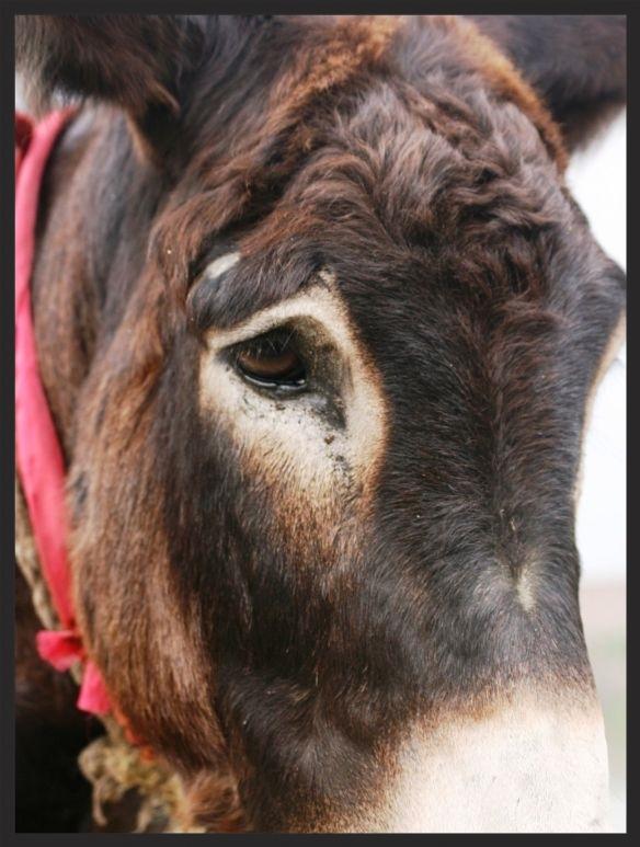 This mule's eye speaks volumes.  www.BrookeUSA.org.jpg