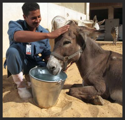 A patient gets plenty of rest and t.l.c., and a drink of cool water while recuperating in one of our Brooke veterinary hospitals in the Middle East.