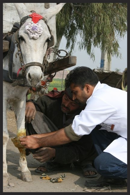 A Brooke veterinarian in Pakistan shows an owner how to treat and protect a wound on his donkey.