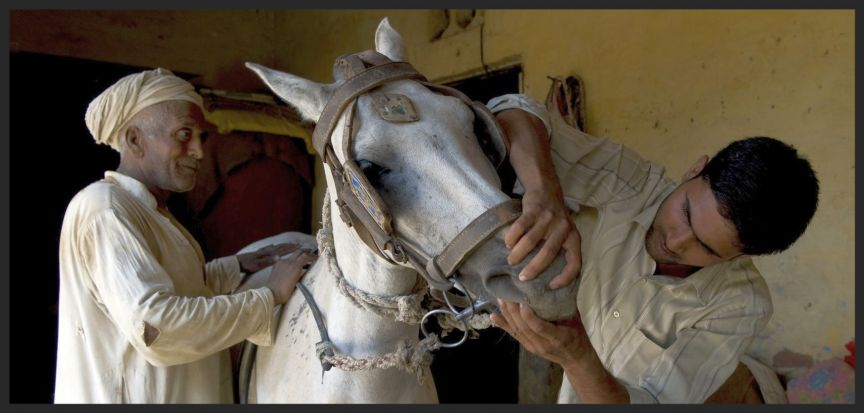 A para-vet trained by the Brooke in India uses his skills to examine a working horse in his community.
