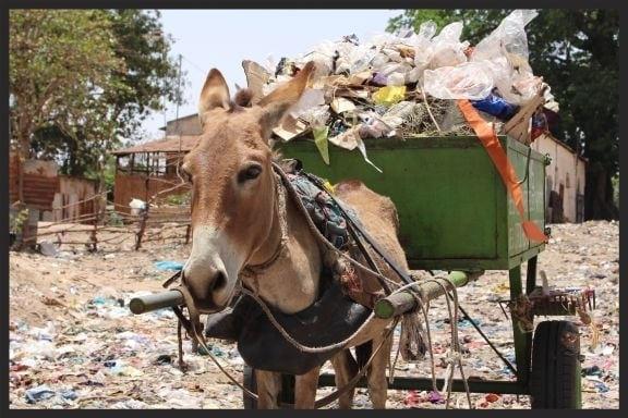This donkey in Senegal lives and works in a garbage dump and recycling center.