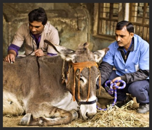 A very sick donkey in India is being examined by a Brooke veterinarian. While she recuperates, her owner will learn important animal husbandry skills to make her life better in the future.