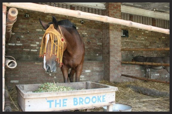 An injured horse enjoys a nutritious meal while recovering in one of the Brooke veterinary clinics in the Middle East.