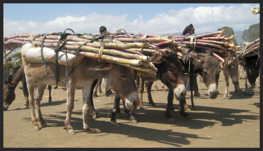 These donkeys in Ethiopia are badly loaded with heavy sugarcane. Imagine how uncomfortable they must be, working in the sun under these poorly packed loads and unable to raise their heads while transporting. Now imagine how much they will appreciate having a drink of fresh, clean water from a trough that you helped to construct!