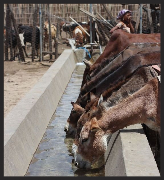 Not only will horses, donkeys, and mules have access to our water troughs, but other livestock such as cattle and even camels can find life-saving refreshment as well.