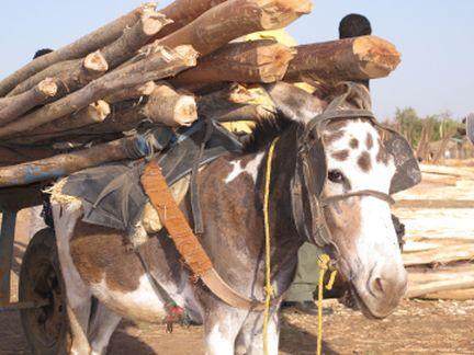 Ethiopia timber donkey 2 www.BrookeUSA.org SMALL.jpg
