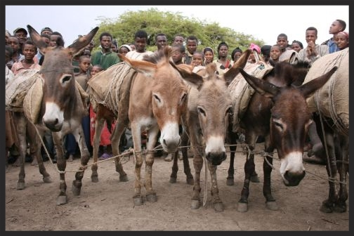 After unloading their burdens at the market, donkeys are often tethered to stakes or tied together to prevent them from wandering away or being stolen, which sadly prevents them from being able to seek shade.
