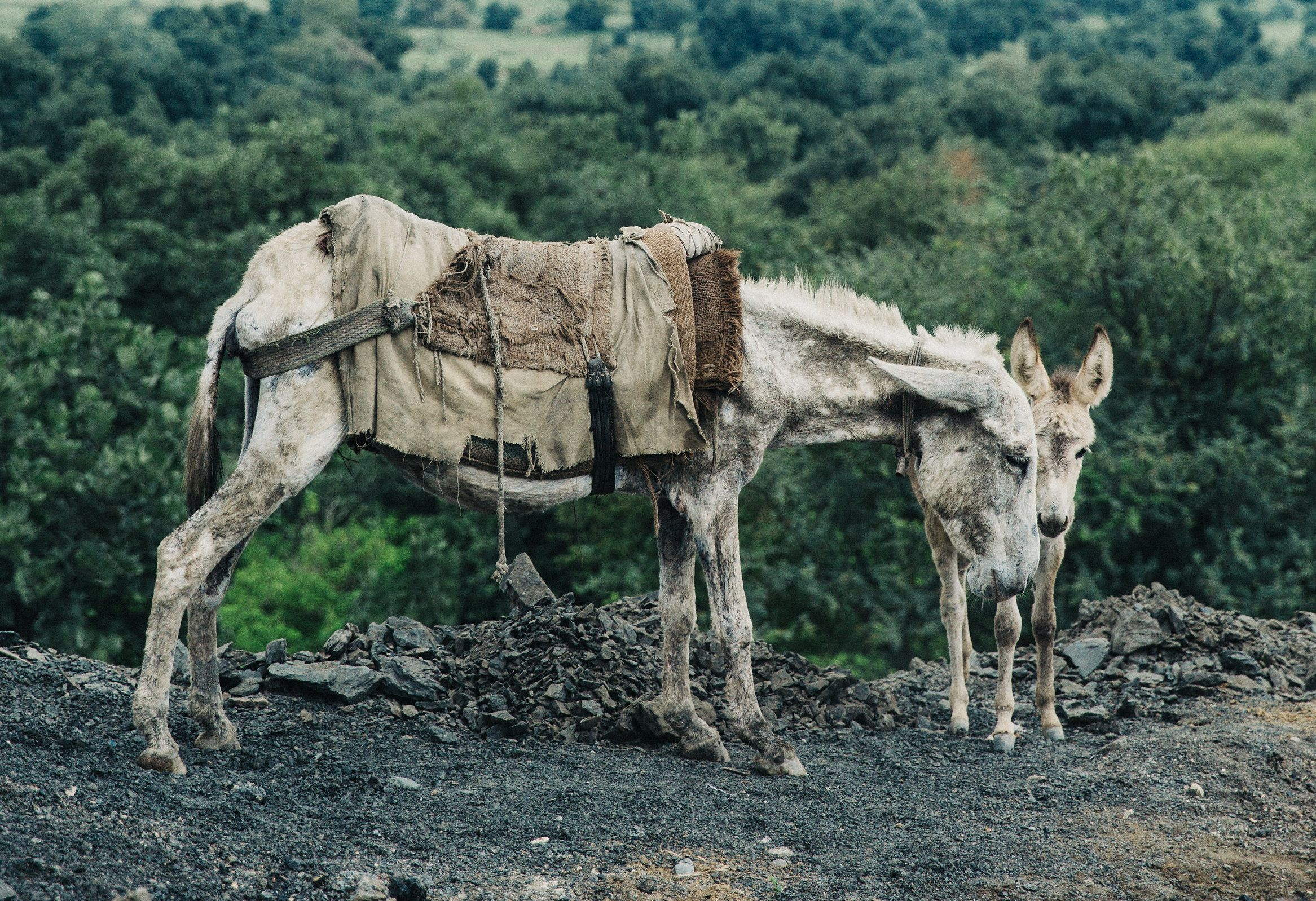 A malnourished mare works in a coal mine in Pakistan all day while also trying to nurse her foal.  Her body's limited energy is expended trying to produce milk, leaving nothing in store to get her through her very strenuous job hauling rocks and coal.