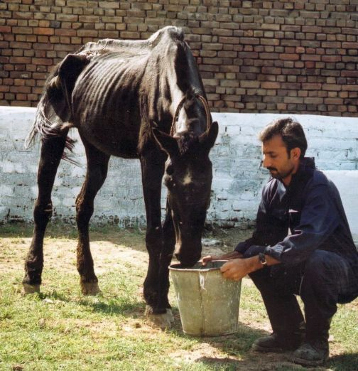 This terribly malnourished horse is being nursed back to health as a patient in one of Brooke Pakistan's veterinary clinics.