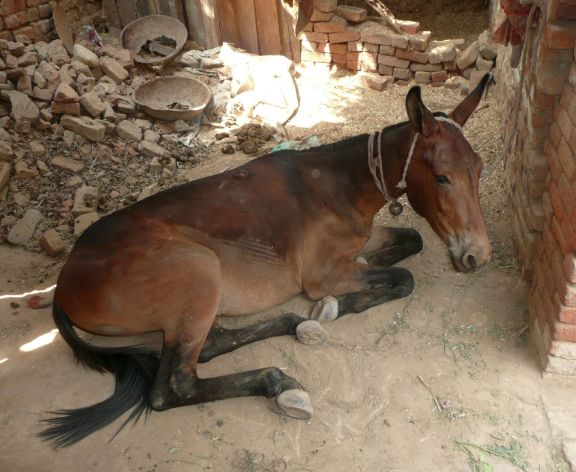 This mule in Manpur village works all day in a brick kiln -- one of the harshest working environments for animals and owners.