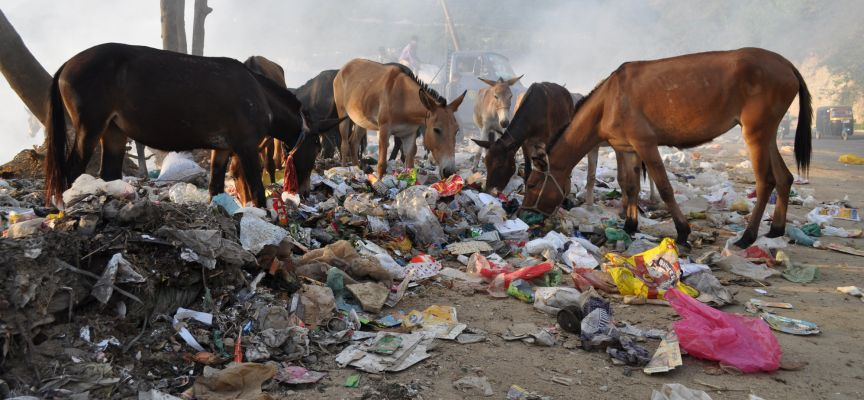 Horses and mules rummaging for something to eat in a garbage dump in Afghanistan
