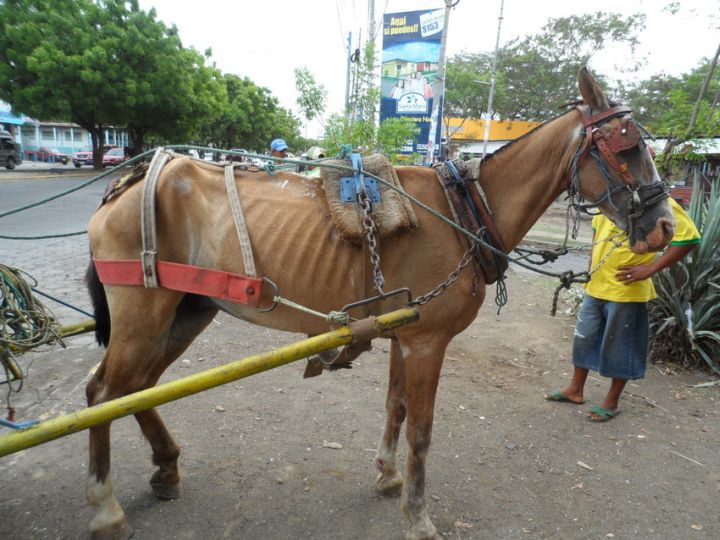 A carriage horse in Nicaragua has to summon the strength to work each day in spite of being emaciated.