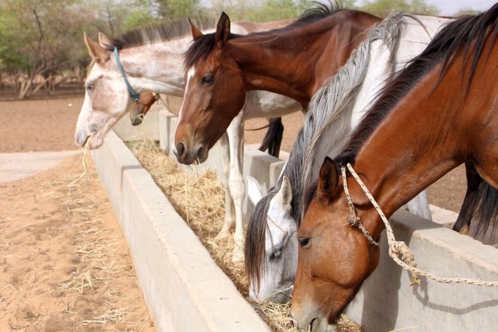 A Brooke emergency feeding program during a drought in Senegal utilized water troughs to feed many starving horses at a time.