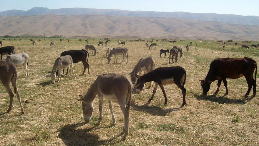 These donkeys in Afghanistan work hard all day, then have to work nearly equally hard to find enough food in the overgrazed, dry terrain.  Brooke has been working in Afghanistan since 200_ to improve the welfare of animals in that war torn country.