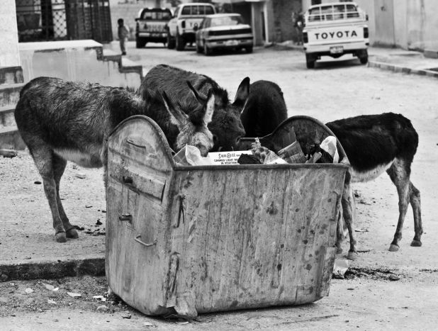 These donkeys are scavenging for food in a dumpster on a street in Jordan.
