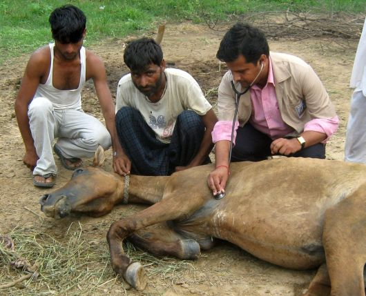 Sick mare in India being treated by a Brooke veterinarian www.BrookeUSA.org SMALL.jpg