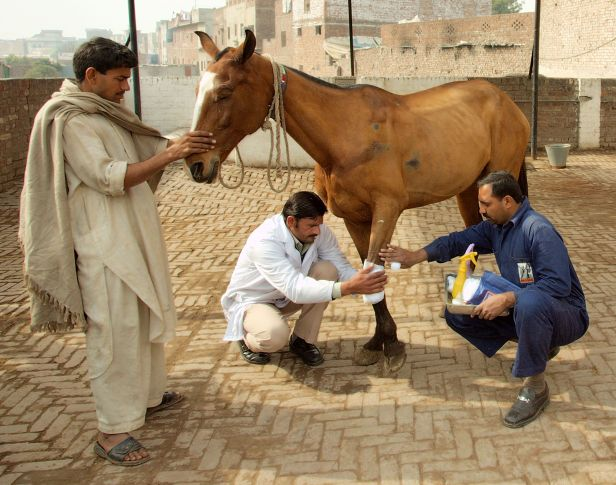Brooke veterinarian treats a working horse at a Brooke Wayside station in Pakistan CROPPED.jpg