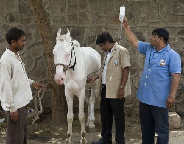 A Brooke India vet treats a horse for colic www.BrookeUSA.org.jpg