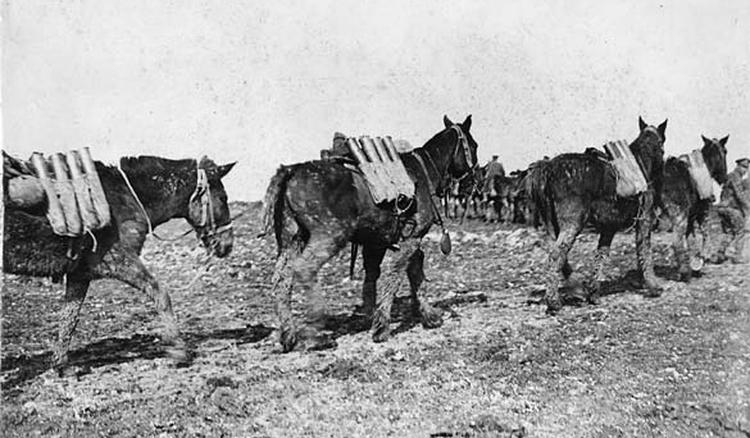 ww1 horses 18.jpg