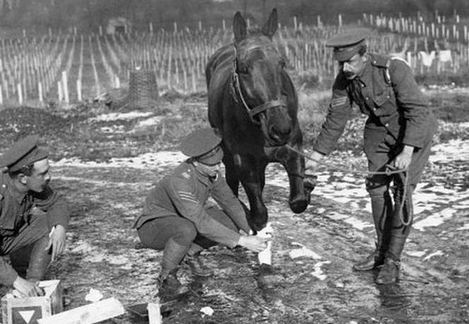 ww1 injured horse being treated.jpg