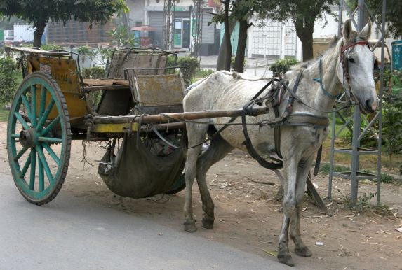 A horse-drawn taxi waits for his driver along a road in the South of Pakistan. www.BrookeUSA.org small.jpg