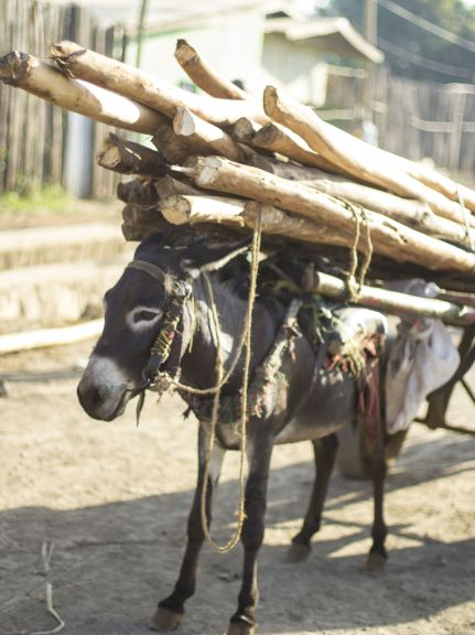 Ethiopia timber donkey www.BrookeUSA.org cropped.jpg