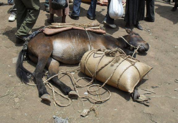 Ethiopia RS11586_SDC10829 Hosanna mule in sun overloaded collapsed-scr.jpg