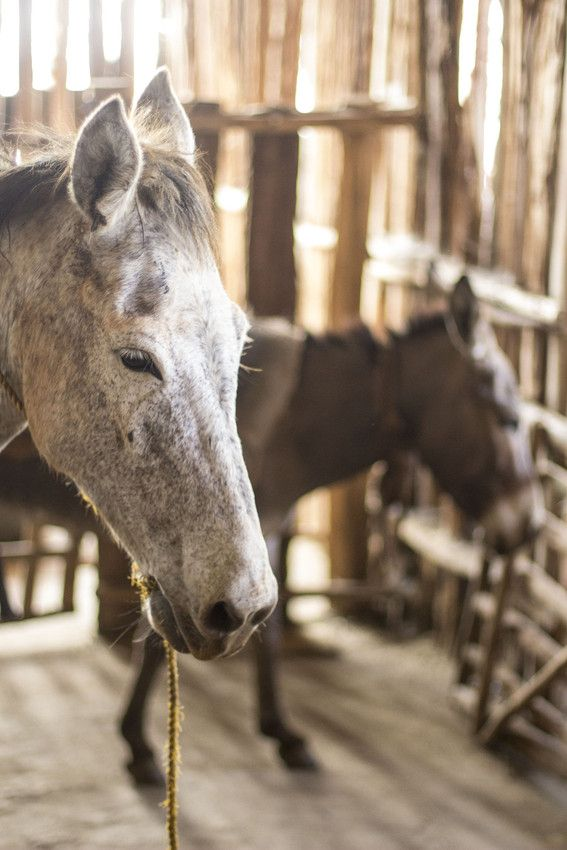 Satisfied customers: This horse in enjoying a much-deserved rest in one of Brooke's existing shade shelters in the very busy Hosanna grain market in Ethiopia.