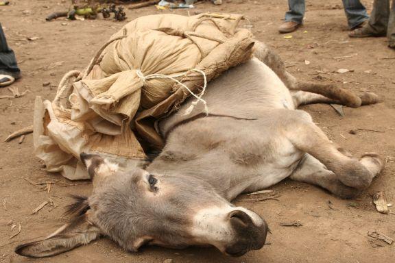 collapsed donkey Ethiopia.jpg