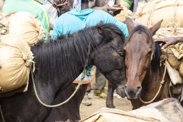 Horses are also victims of the heat, overloading, and dehydration, like these at the Hosanna Grain Market in Ethiopia.