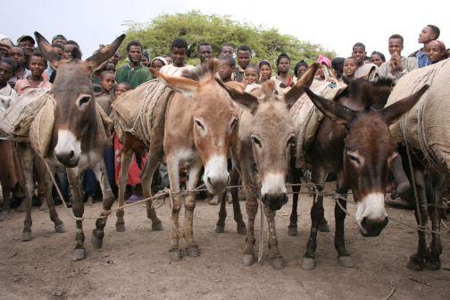 Ethiopia tethered donkeys at market www.BrookeUSA.org SMALL.jpg